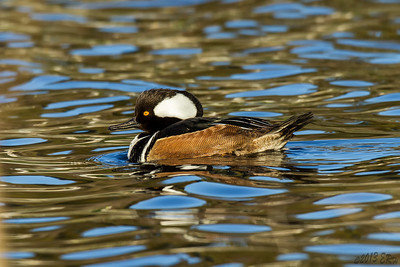 A somewhat closer shot of the Hooded Merganser