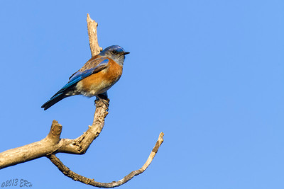 Western Bluebird - These guys decided to come over to where I was setup about 25 minutes before sunset.
