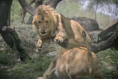 Young lion defends his prize