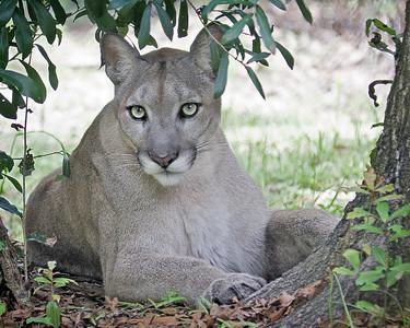 western cougar