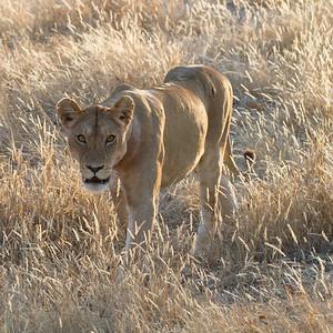 Lions at dawn - Ruaha 07 2012