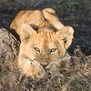 Lion Cub Waiting for Mother,<br />  Ndutu,Tanzania.