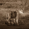The Ankle Biter.<br /> Lion Cub in Africa.