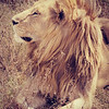 Wild Lion in Profile
