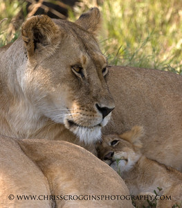Lion Mother and Cub, Africa.