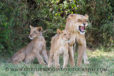 The milk bar is closed- Mother lions discourage nursing by quietly baring their teeth in this fashion.