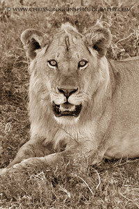 Portrait of a Maneless Lion. Suthern Serengeti Plains.  Tanzania, East Africa.