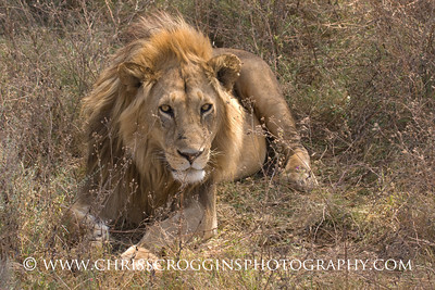 Resting Male Lion,  Tanzania, East Africa.
