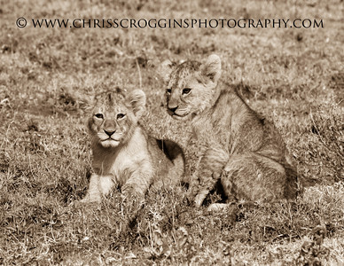 Little Lion Cubs