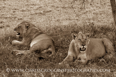Two Maneless Lions. Southern Serengeti Plains. Tanzania, East Africa.