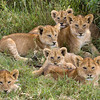 Six Lion Cubs