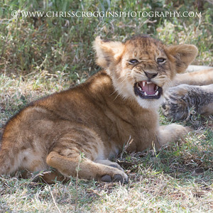 Snarl Practice. Although he looks like he is snarling, this small lion cub was being pestered by a fly.