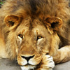 Lion King Emeritus.<br /> Tanzania, East Africa.