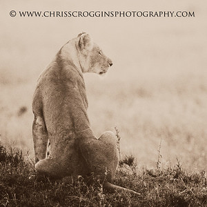 Profile of a Lioness.