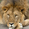 Portrait of a retired Lion King.<br /> Tanzania, East Africa.