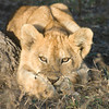 Lion cub waiting for mother.