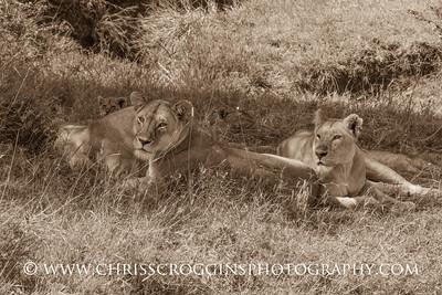 Lioness Siesta