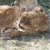 Tough Love.<br /> An injured lioness refuses to nurse her young cub. Fortunately by the end of the day the cub had found a work-around which didn't cause mother any pain. Ndutu, Tanzania.