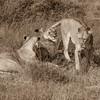 Three Lioness Resting Sqr