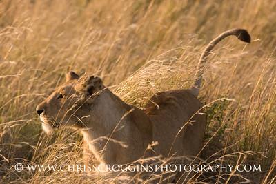 Female Lion Marking Territory,  Masai Mara, Kenya.