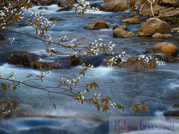 Serviceberry blossoms contrast with the blue of a mountain stream in early spring.