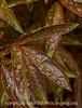 Raindrops on Peony Leaves
