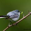 Blue Grey Gnatcatcher