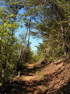 Dry Pine-Oak forest along Little Greenbrier trail.  May 8 2007 GSMNP
