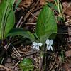 Primrose-Leaf Violet (Viola primulifolia)