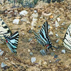 Eastern Tiger Swallowtail and Zebra Swallowtail