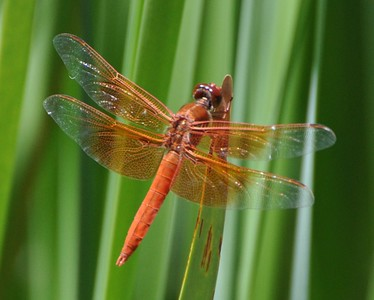 Flame Skimmer Dragonfly, Sonoma, CA  2010