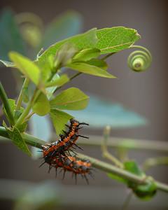 Gulf Fritillary ~ Larva