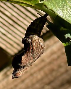 Gulf Fritillary ~ Chrysalis