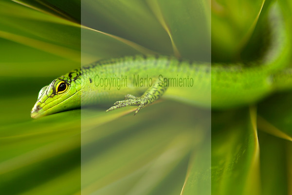 Lizards of the Northern Mariana Islands