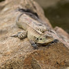 Eastern Water Dragons