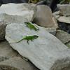 War of the Lizards