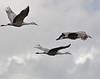 Llano Seco Cranes 18 _pp