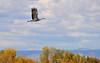 Llano Seco Cranes 10 _pp