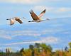 Llano Seco Cranes 05 _pp