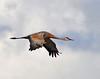 Llano Seco Cranes 03 _pp