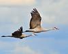 Llano Seco Cranes 06 _pp