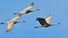 Llano Seco Cranes 12 _pp