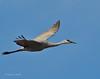 Llano Seco Cranes 11 _pp