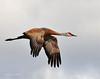 Llano Seco Cranes 01 _pp