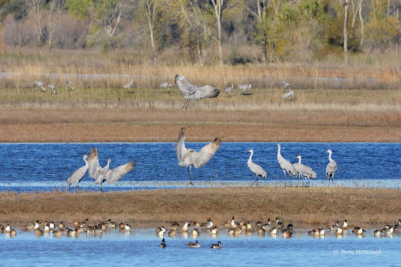 LS Sandhill Cranes 2014