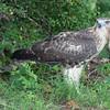 Broad-winged Hawk, Watchung, NJ
