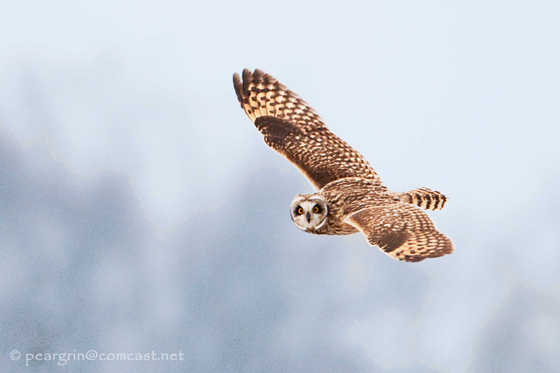 Short Earred Owl