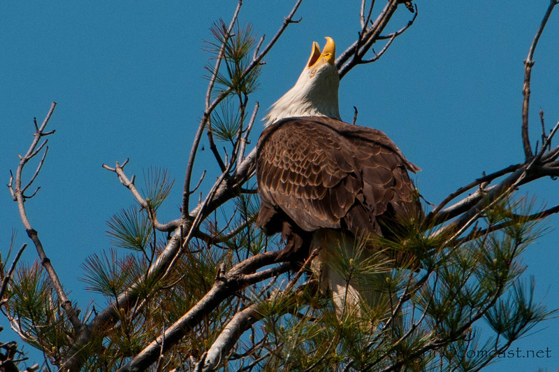 Bald Eagle Calling Mate