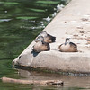 Black Ducks, Watchung Lake Dam