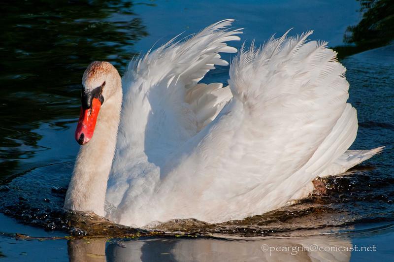 Male Mute Swan, territorial display